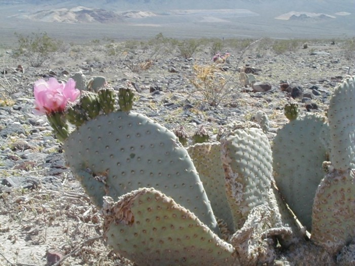 Desert Flower, Public Domain