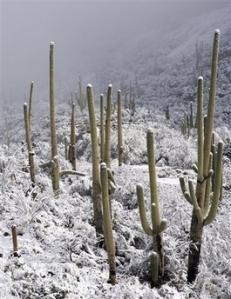 Saguaro in the Snow