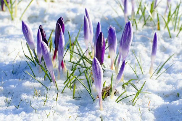 Public Domain Image: Spring Flower And Snow by George Hodan