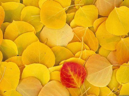 aspen-leaves_eastern-sierra_california