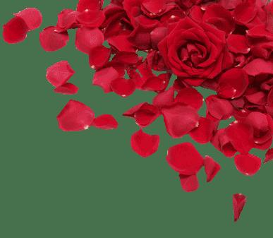 roses, petals