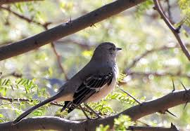 Mockingbird in Mesquite