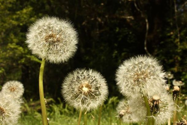 Dandilions by Leah Praytor