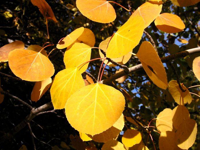 Populus Tremuloides 8163, Walter Siegmund photographer (wikipedia source)