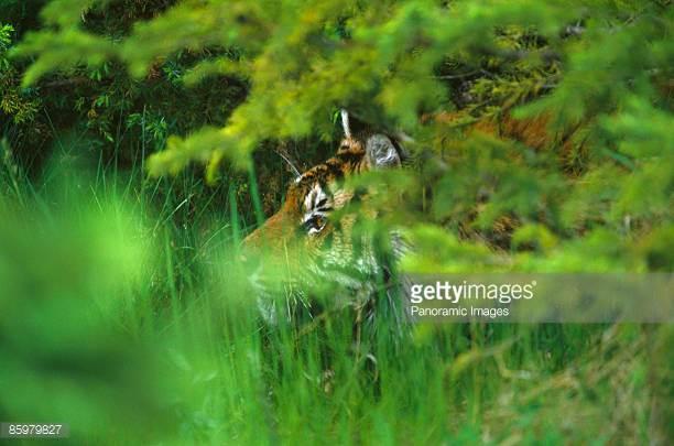 Tiger hiding
